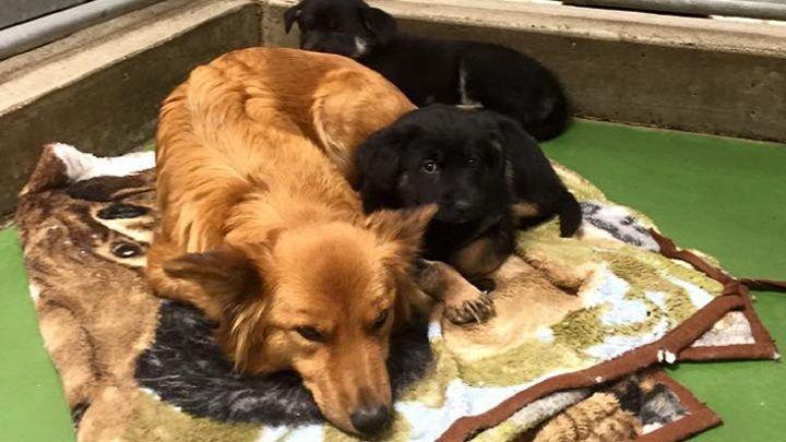 Mastitis en perros