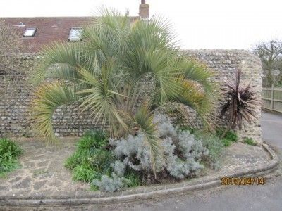 Hardy Pindo Info – How To Care For A Pindo Palm Tree