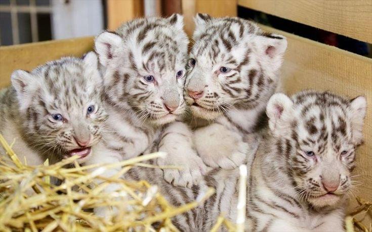 Λευκές τίγρεις της Βεγγάλης σε ζωολογικό πάρκο της Αυστρίας. Τέσσερις λευκές τίγρεις της Βεγγάλης απεικονίζονται στον ζωολογικό κήπο του Kernhof, στην Αυστρία. Τα νεαρά τιγράκια γεννήθηκαν στις 22 Μαρτίου.