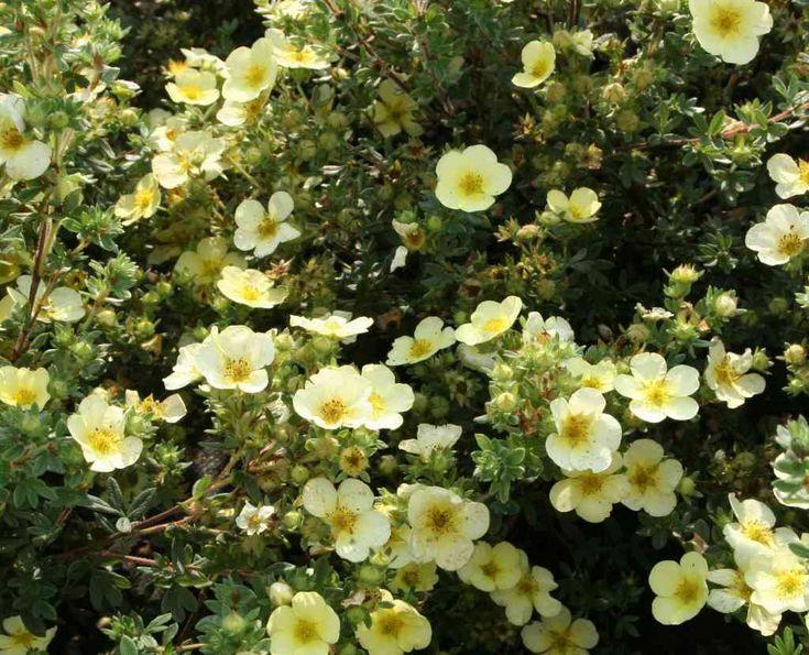 78 best plants in the garden images on pinterest garden. Black Bedroom Furniture Sets. Home Design Ideas