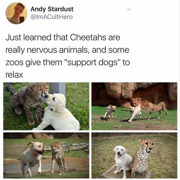 Best Animals Images On Pinterest - Cheetahs can be so shy that zoos give them emotional support dogs