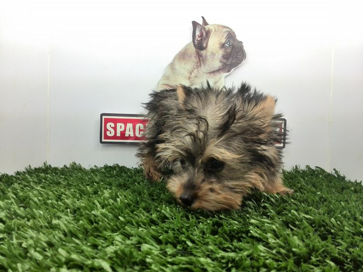 Compra venta de cachorros perros de raza Yorkshire Terrier miniatura hembras y machos Spaceanimals.com.mx pedigree azul¡Ahorros hasta del 50%! de Descuento y 12 Meses Sin Intereses paga seguro con Pay Pal ,Ventas por Teléfono: (01)(229) 2.60.31.86 / (01229) 3.06.02.03 / ID Nextel 42*15*597183 Móvil 22.99.60.60.77 / 22.92.91.20.91 WhatsApp Si estás en el extranjero llámanos al +52 229 260 3186 Encuentra las Mejores Razas en www.VentadeCachorrosPerros.com¡Compra Ahora!
