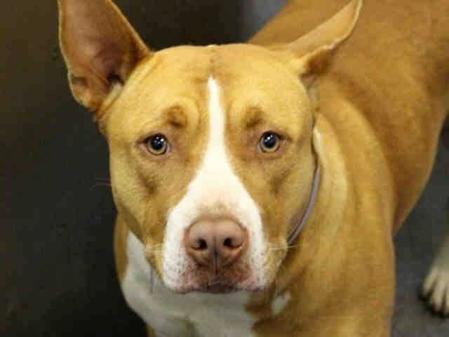 Adopt Aurora On Pitbull Terrier Terrier Mix Dogs Bull Terrier Mix