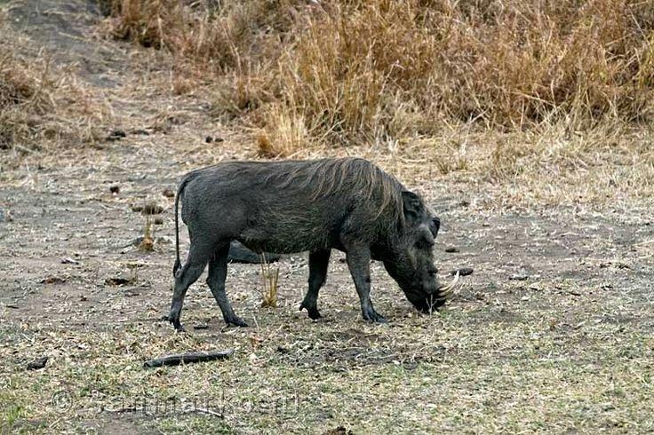 Eritrean warthog(P. a. aeliani