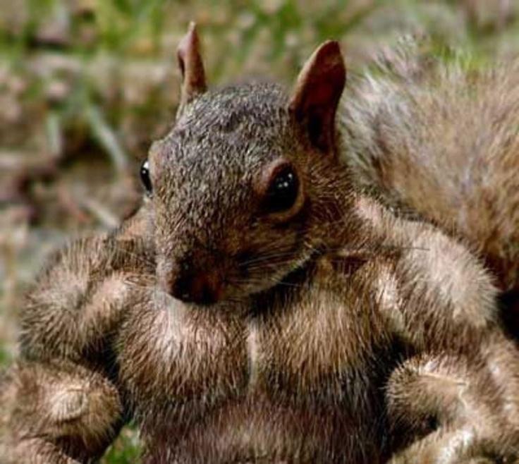 Muskel Eichhörnchen