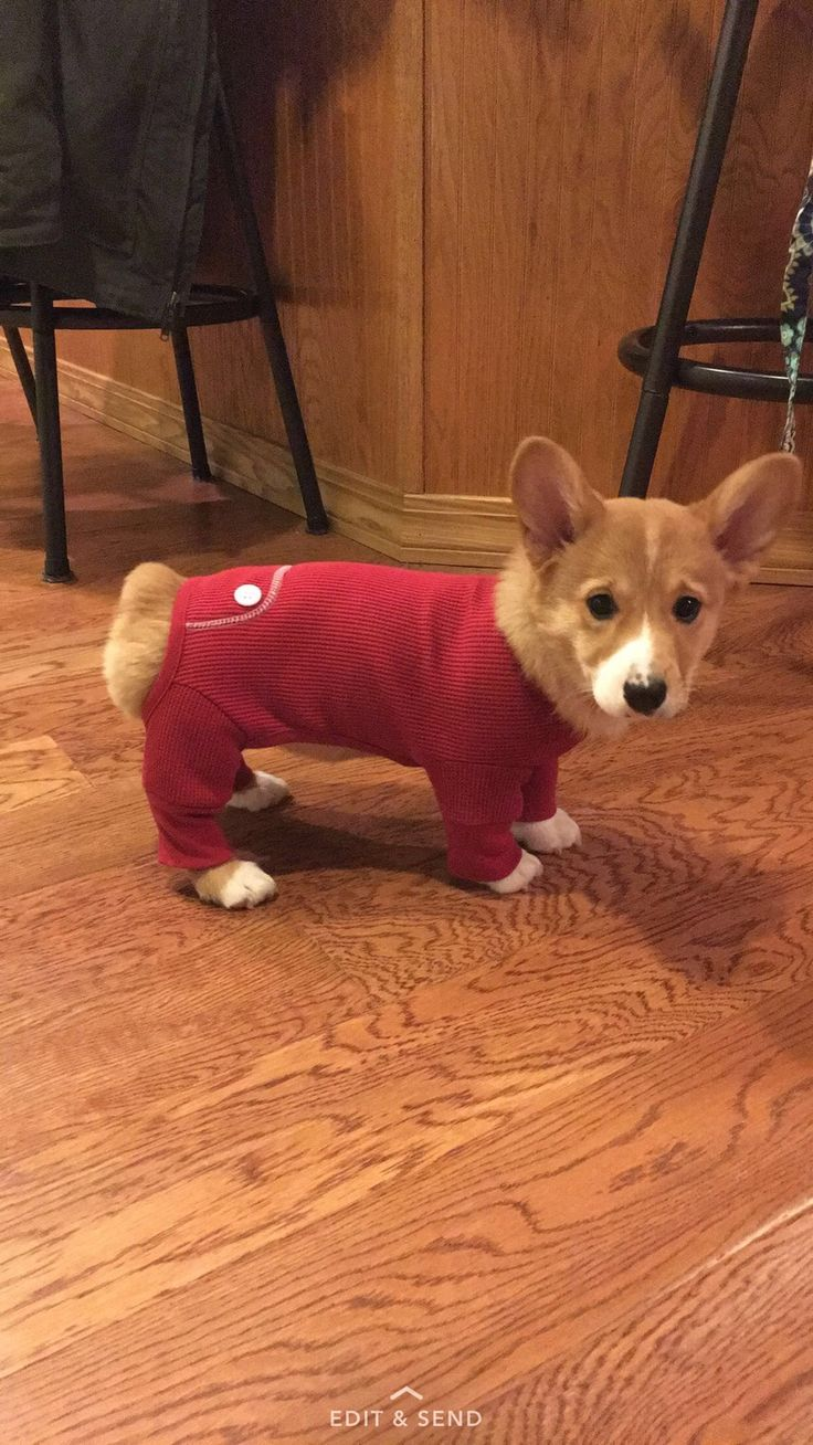 Corgi in red thermal jammies