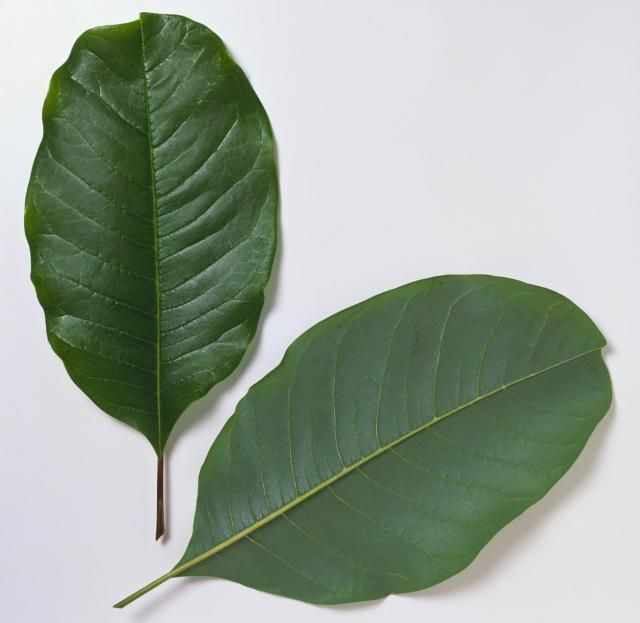 Unlobed leaves that are smooth around the margins (not serrated).: Magnolia