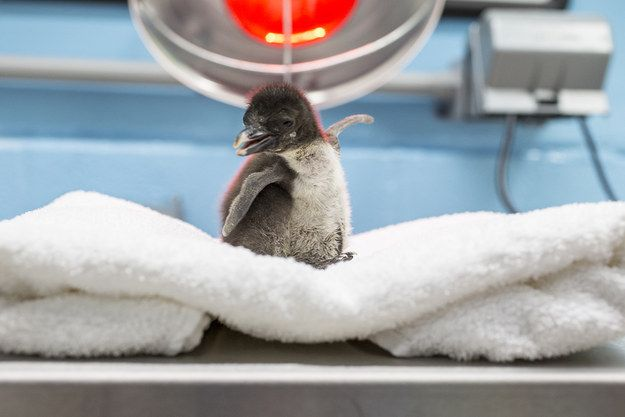 """""""Hello World!"""" Meet the newest addition to the Shedd Aquarium family, this little rockhopper penguin who hatched on June 9, 2015."""