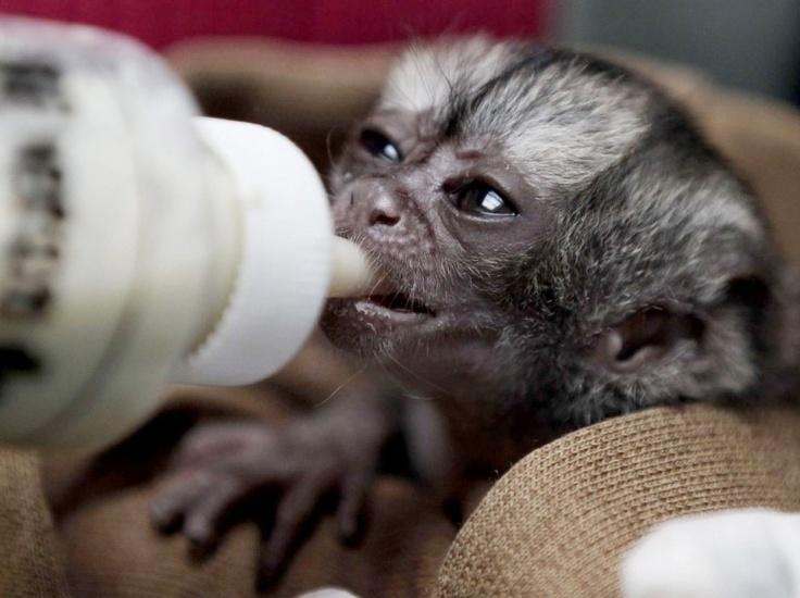 Un singe de deux semaines est nourri dans un centre vétérinaire à Bogota, en Colombie.