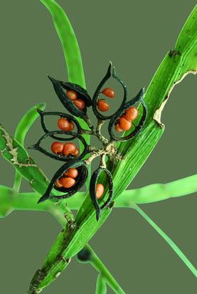 Seed pods of Carmichaelia australis.