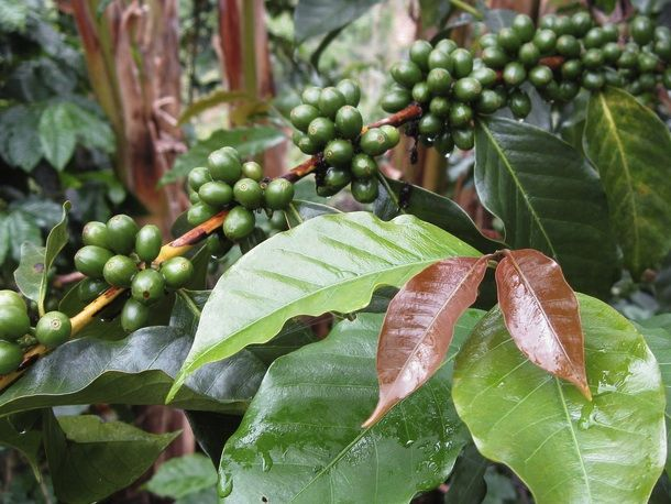 Why coffee varieties are important - from Serious Eats