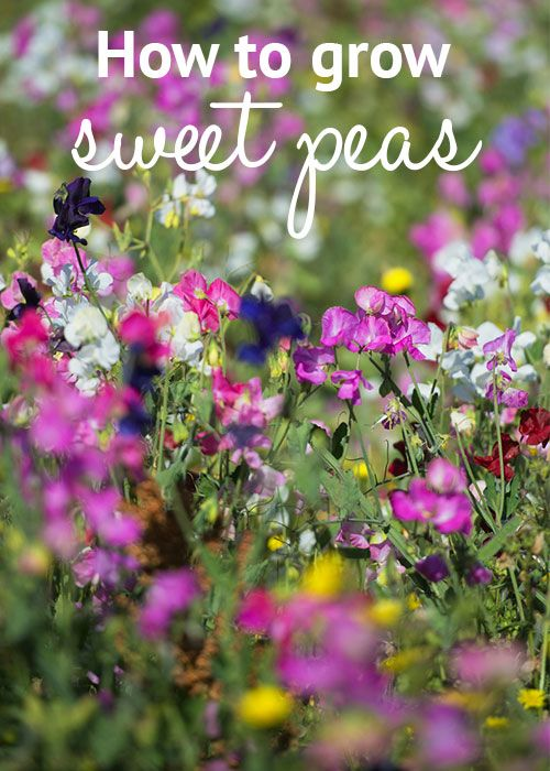 How to grow sweet peas from seed - via David Domoney