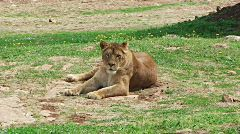Lioness Resting Wildlife Animals Stock Footage Clip
