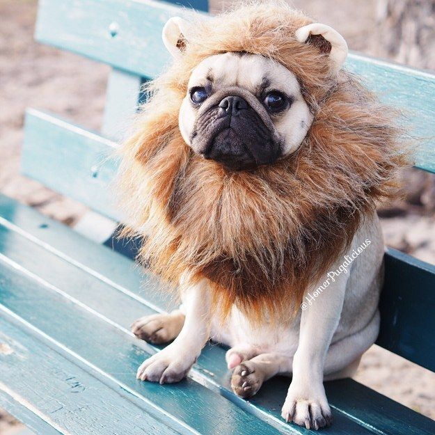 You'd be lion if you said you weren't impressed by his commitment. | This Pug Has The Most Adorable Halloween Costumes