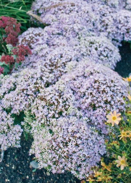 17 Best Images About Salt Tolerant Garden On Pinterest