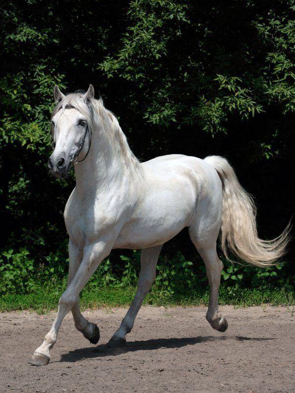 Caballo blanco andaluz