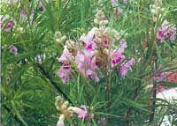 A dozen delightful little bloomin' trees for Texas