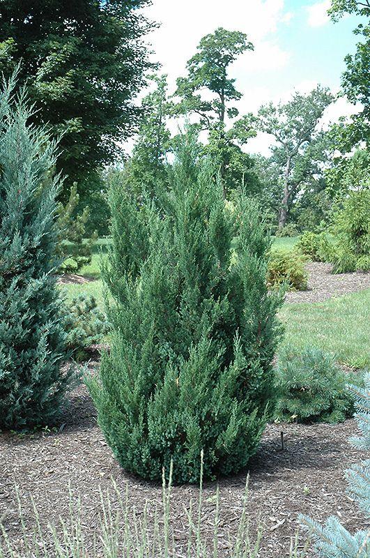 Blue Point Juniper (Juniperus chinensis 'Blue Point') at Stein's Garden & Home