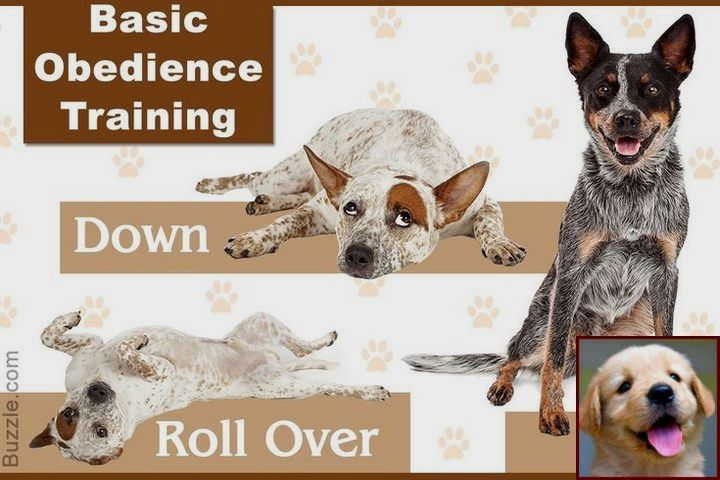 House Training A Puppy Uk And Dog Behavior Head Butting Dogcommands Doglovers Cattle Dogs Training Dog Training Obedience Dog Behavior