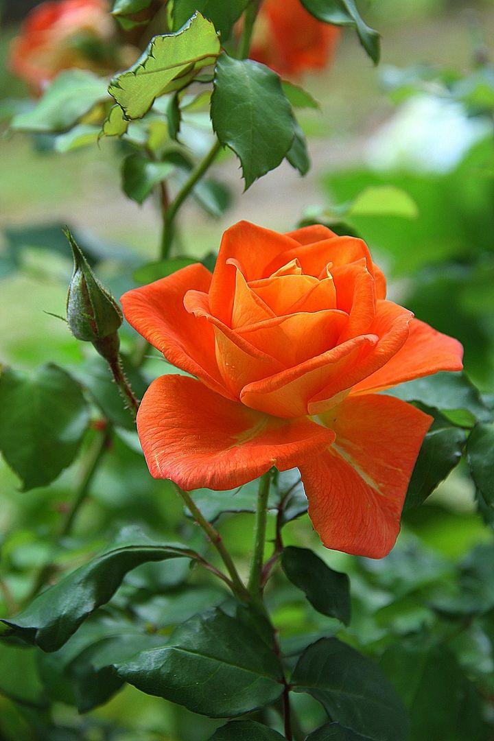 Mejores 9 imágenes de Nuestras Rosas en Pinterest | Tallo, Flores ...