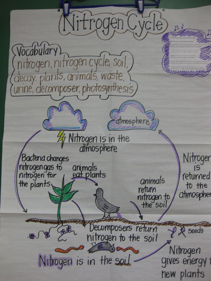 STAAR review anchor chart. I make this one to review the Nitrogen Cycle with students before the 5th grade Science STAAR test