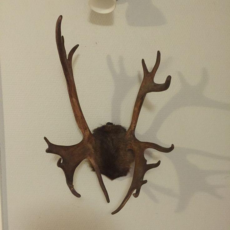 Sarvet seinällä,olohuoneessa. Jonkun metsästysmuisto... Sarvet,metsästysmuisto,sisustus,olohuone