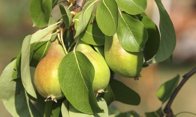 Cómo cultivar perales en maceta