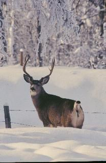 1000 Images About Whietail Deer On Pinterest Deer