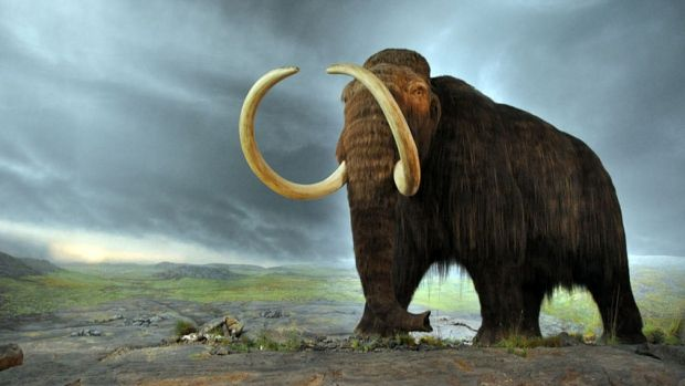 Woolly mammoth model at the Royal B.C. Museum in Victoria, B.C.