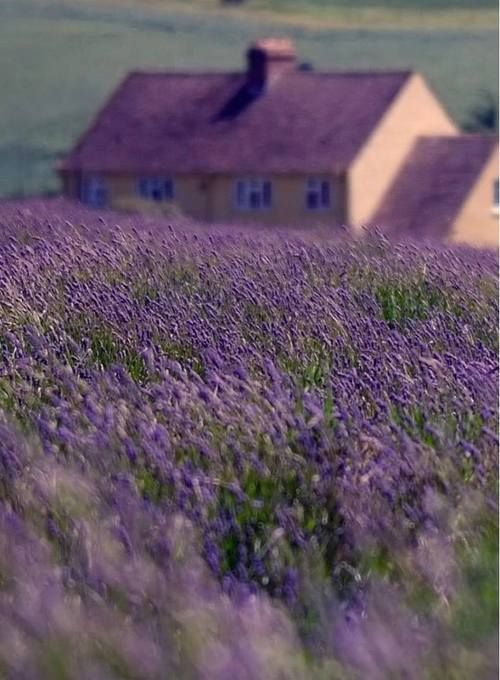 Not sure of the location of this gorgeous lavender field and home shot, but rather suspect it's England.