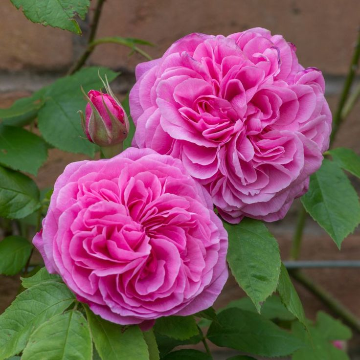 Gertrude Jekyll - Most Fragrant English Roses - Fragrant