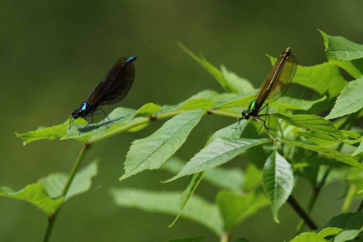 Damselflies - Wey & Arun Canal - Hunt Nature Park