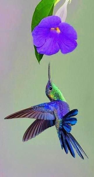 Hummingbird and Thunbergia