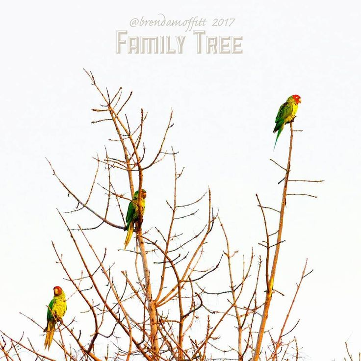 Family Tree: Oldest Child. Middle Child. Youngest Child (R-L). Happy holidays safe travels and enjoy your family time everyone. Eat well smile when you mean it. #parrots #anthromorphism #lamesaparrots #birdsofinstragram #lamesa #sandiego #family #california #usa #birds #winter #tree #happyholidays #familytree #canon7d #canon70200 #teamcanon #canon_photos #lightroom#family #merrychristmas