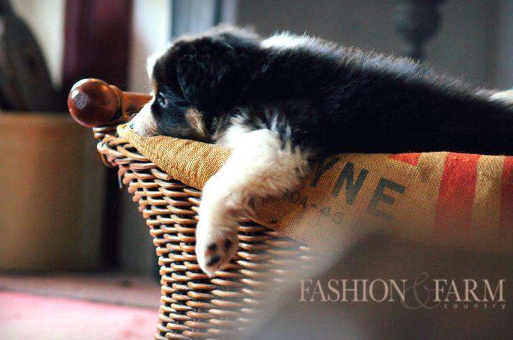 Australian Shepherd Puppy  Fashion & Farm Country Magazine