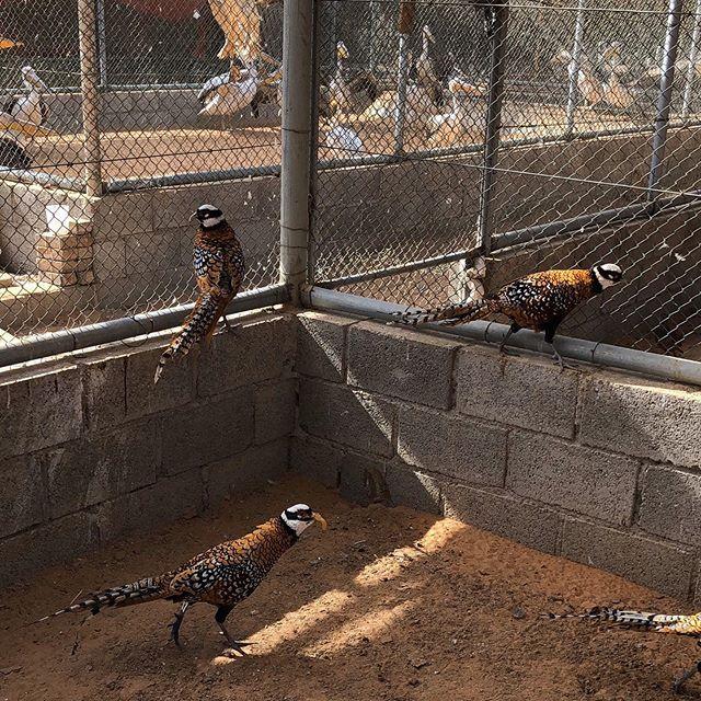 زوج ريفيز فزنت Pair Of Reevess Pheasant واحد من أجمل أنواع الفزنت في العالم مستويات روعه وصحتهم Life Pins زوج ريفيز فزنت Pair Of Reevess P Animals Life Travel