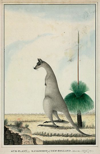 Eastern gray kangaroo, Macropus giganteus and grass tree, Xanthorrhoea sp ~ George Raper (1769 - 1797)  Watercolour and ink, c1789 ~ Raper faced the same difficulties as other First Fleet artists in capturing accurate depictions of fauna unfamiliar to them. Andrew Sayers, in his book Australian Art (2001), describes this obstacle as an 'endearing naivety' and this kangaroo epitomises this in many ways.