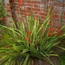 Google Image Result for http://www.bbc.co.uk/gardening/plants/plant_finder/images/large_db_pics/large/watsonia_stanford_scarlet.jpg