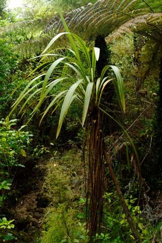 Tī ngahere – forest cabbage tree. 4-6m; tapered, drooping leaves; well defined midribs; slender, smoothish-barked single trunk, sometimes clustered together at base.