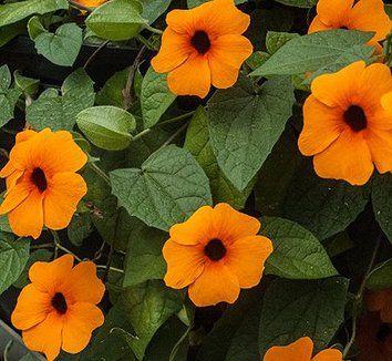 Mustasilmäsusanna 'Sunny Susy Rot-Orange'