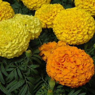 Photo of Marigold Marvel Mix, Marigold