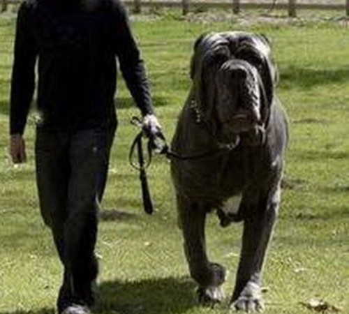 english mastiff hercules -#main