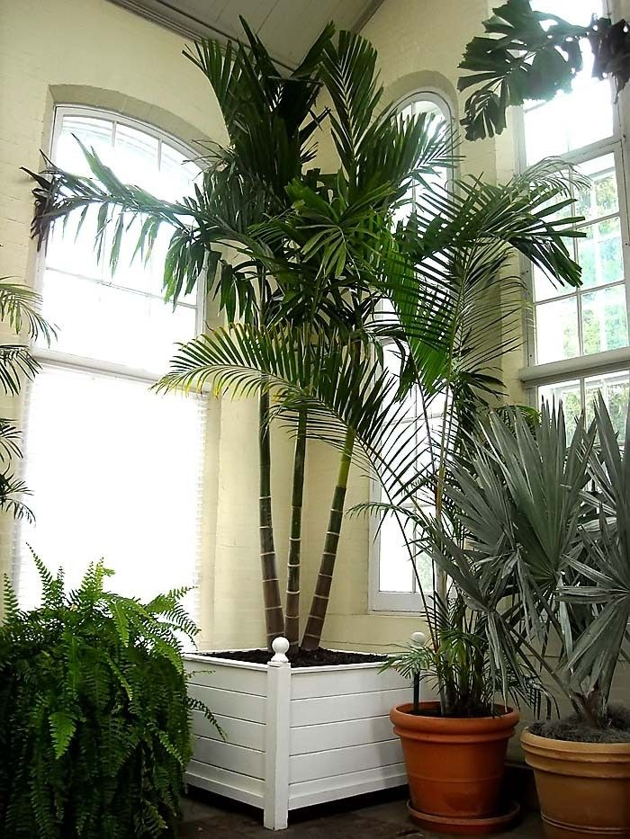 Indoor Alexander Palm Synonymy: Seaforthia Elegans (Ptychosperma Elegans)  Common Names: Solitaire Palm
