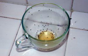 Hvordan slipper du for myrer i huset. Myrer i kaffekop.