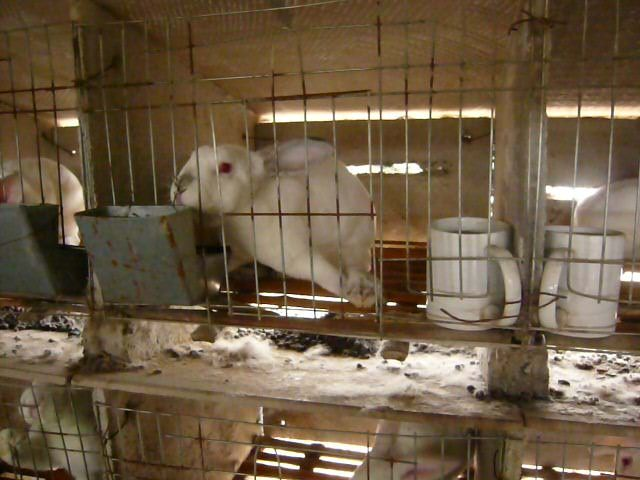 Rabbits Hit, Hung Up, and Skinned Alive in the Chinese Fur Trade