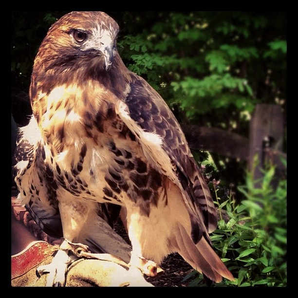 Make sure you get to the Utica Zoo soon! They have new lion cubs & a sea lion pup that were born earlier this summer ~ hope they're viewable soon! This was a red-tailed hawk #utica #zoo