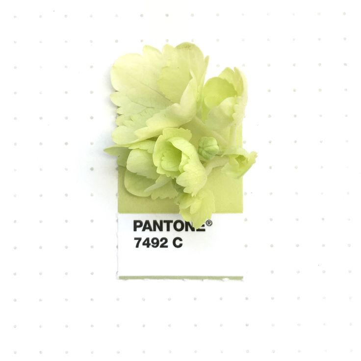 Pantone 7492 color match. Young blooms of white hydrangeas.