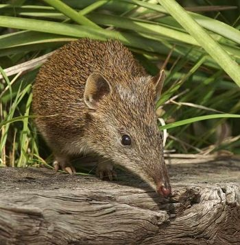 Quenda - aka southern brown bandicoot. These little guys have all but disappeared from other Australian cities, yet can still be seen throughout the Perth metropolitan area