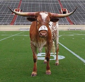 University of Texas Mascot BEVO. Hook em' Horns!  \m/