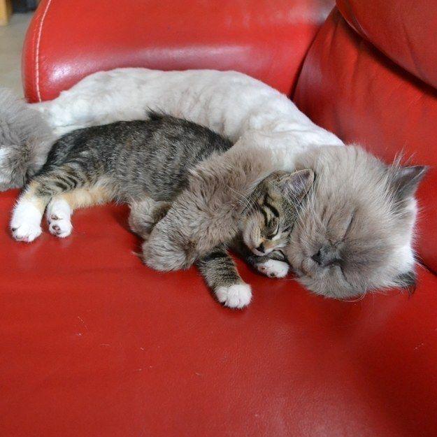 Dieser Flauschi, der seinen kleinen Bruder nur beschützen will.   27 tolle Katzenbilder, wenn das Leben mal wieder kacke ist